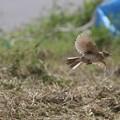 ヒバリの飛翔