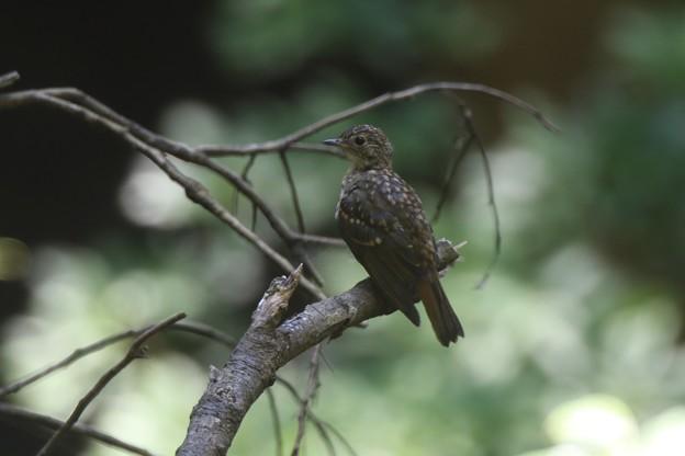 Photos: キビタキ幼鳥