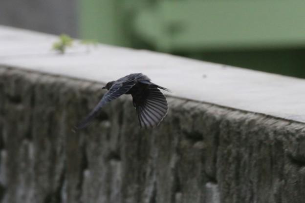 Photos: イソヒヨドリの飛翔