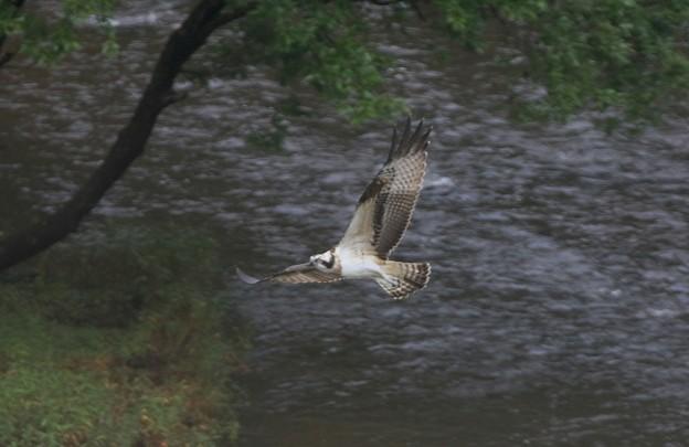 Photos: ミサゴの飛翔姿