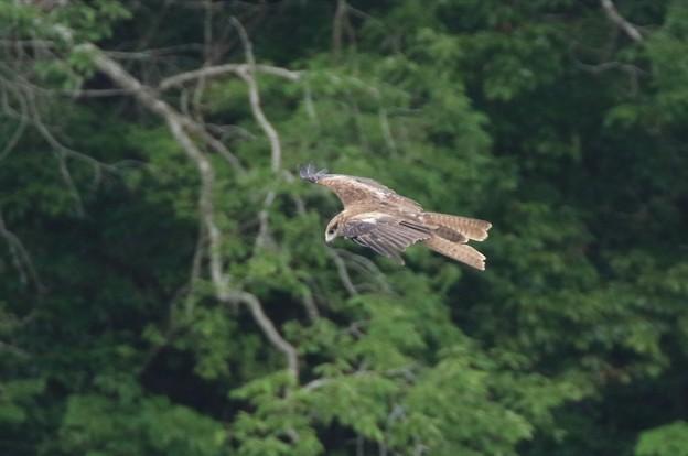 トビの飛翔