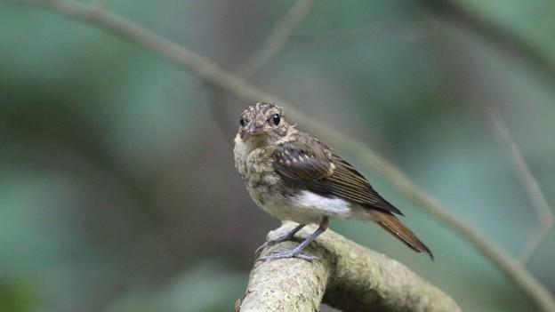 可愛いキビタキ幼鳥