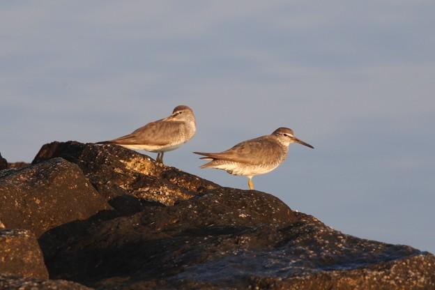 渡り鳥のキアシシギ
