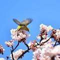 写真: メジロ飛びます!