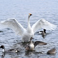 猪苗代湖の白鳥2
