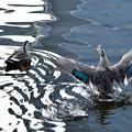 運河を泳ぐカモ