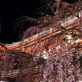 浅草寺の枝垂れ桜は満開