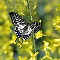 写真: アゲハ蝶とキャベツの花