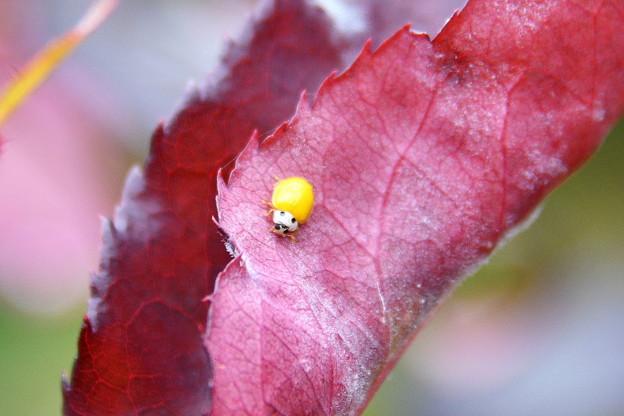 幸せを運ぶ黄色いてんとう虫~♪