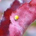 写真: 幸せを運ぶ黄色いてんとう虫~♪