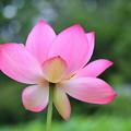 写真: 蓮花