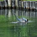 写真: オナガの水浴び