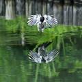 写真: オナガの水浴び3