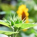 写真: 次咲きます。。