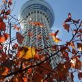写真: 紅葉とスカイツリー