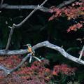 カワちゃんの紅葉狩り
