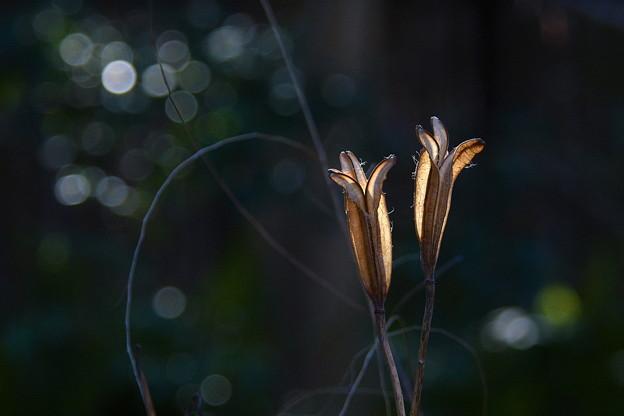 Photos: 逆光に美しく