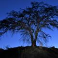 上発知の枝垂れ桜2