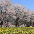 Photos: 桜と水仙