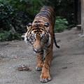 Photos: タイガー