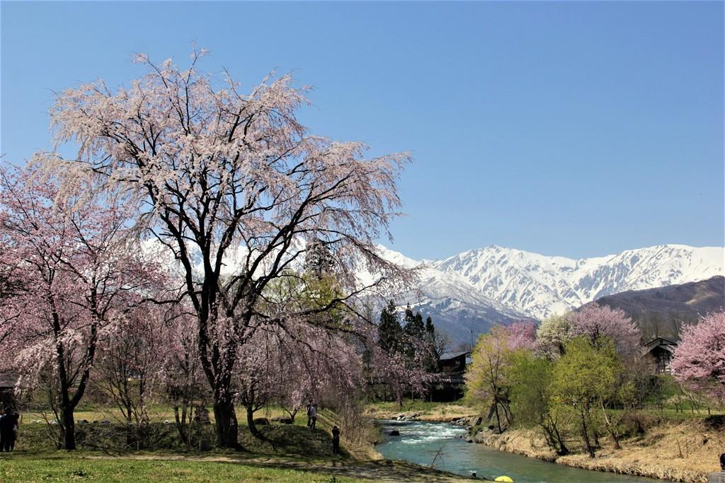 白馬 大出公園 桜