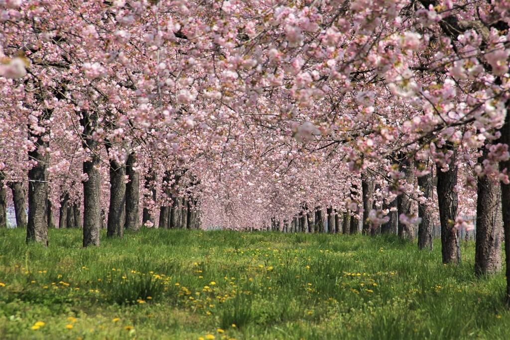 小布施 八重桜