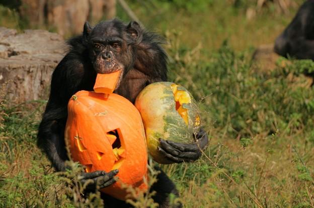 Photos: ハロウィンのチンパンジー
