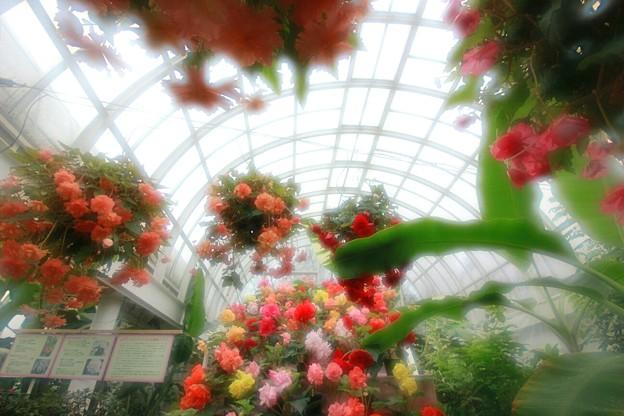Photos: 水戸市植物公園 ベゴニア展