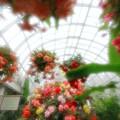 水戸市植物公園 ベゴニア展