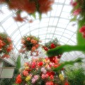 写真: 水戸市植物公園 ベゴニア展