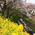 写真: 698 桜川緑地 日立市