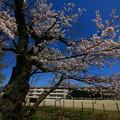 写真: 560 四代桜 助川小学校