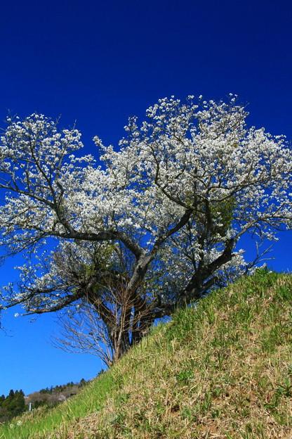 Photos: 907 石名坂の大島桜
