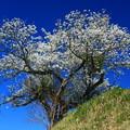 97 石名坂の大島桜
