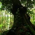 写真: 493 日月神社のシイ