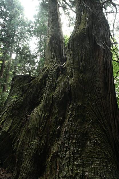 Photos: 497 入四間の五本杉