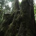 写真: 463 入四間の五本杉