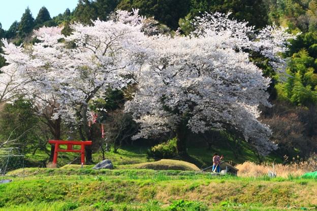 548 油ヶ崎 稲荷神社の桜