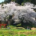 写真: 469 油ヶ崎 稲荷神社の桜