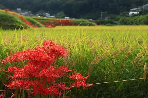 Photos: 252 東連津川沿いの田園風景