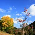 写真: 十王の柿