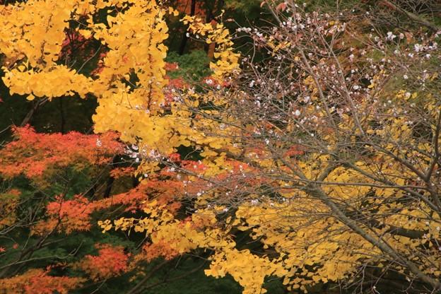 桜と銀杏と紅葉