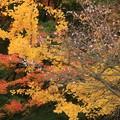 写真: 桜と銀杏と紅葉