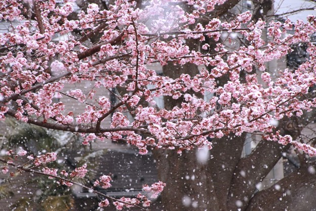 写真: 261 日立紅寒桜