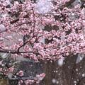 Photos: 261 日立紅寒桜