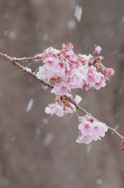 ????: 日立紅寒桜