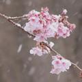 Photos: 日立紅寒桜