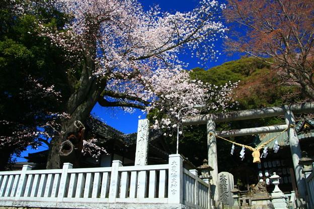 901 大甕神社のヤマザクラ