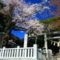 907 大甕神社のヤマザクラ