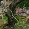 写真: 松岩寺のヤマザクラ 高萩